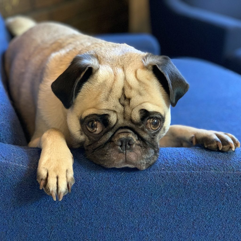 Rosie, Resident Pug for Saint Paul Media